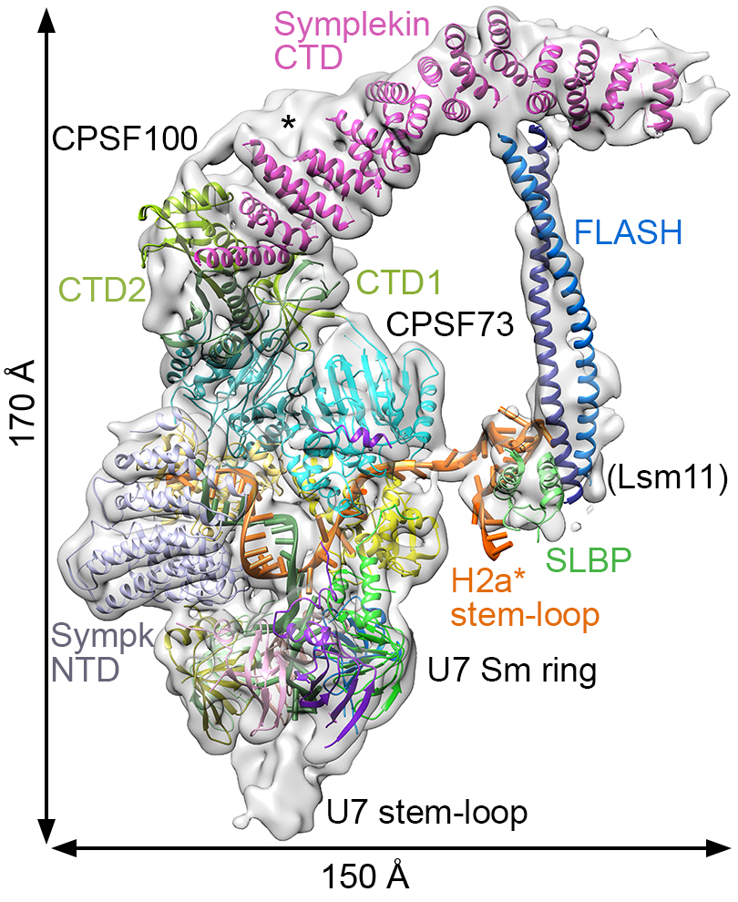 Fig1a A picture showing the function of the histone pre-mRNA 3'-end processing machinery